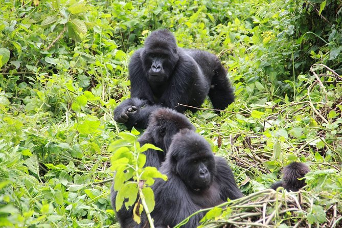 Affordable 3 days Uganda Gorilla Trek Tour From Kigali
