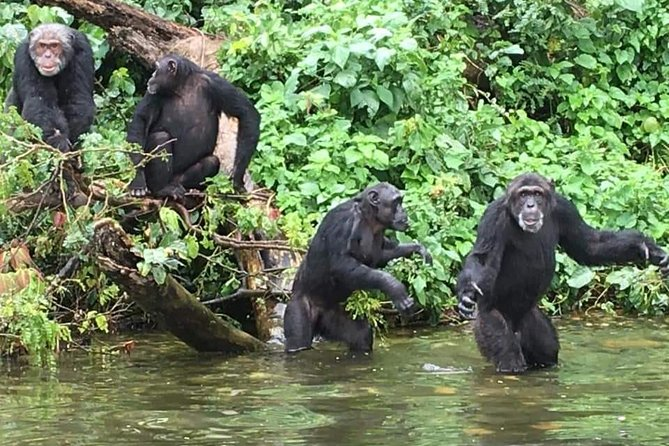 8 Days Uganda Gorilla, Chimpanzee & Wildlife Safari