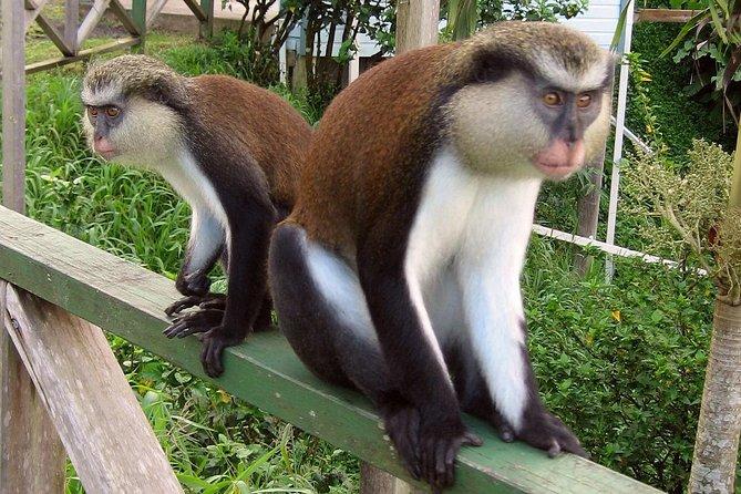 Mona monkey at Grand  Etang rainforest