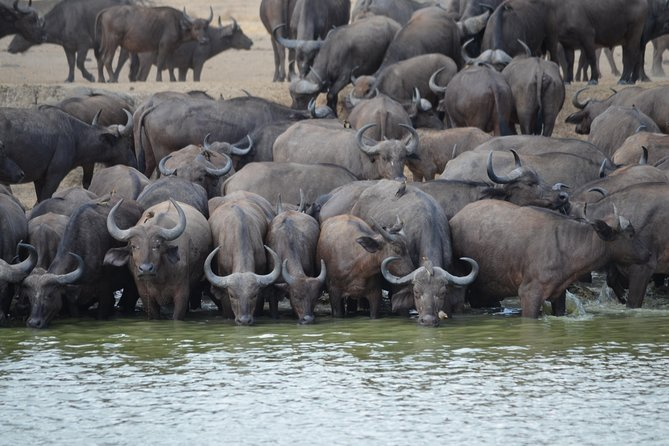 Cape buffaloes