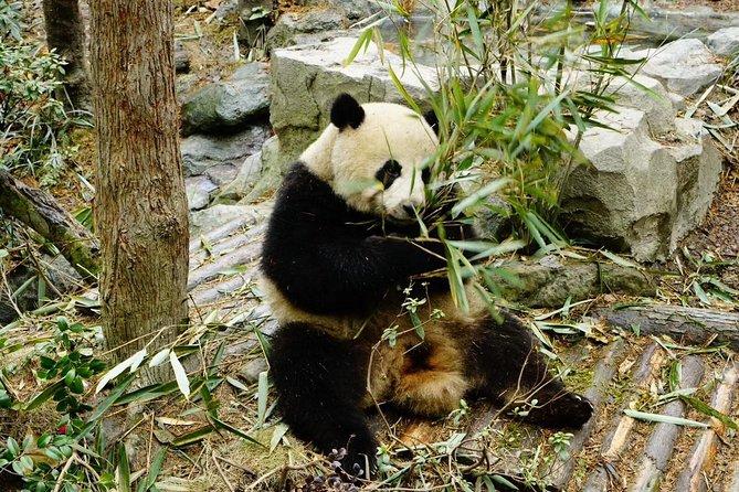 Chengdu Panda Tour and local Culture Experience