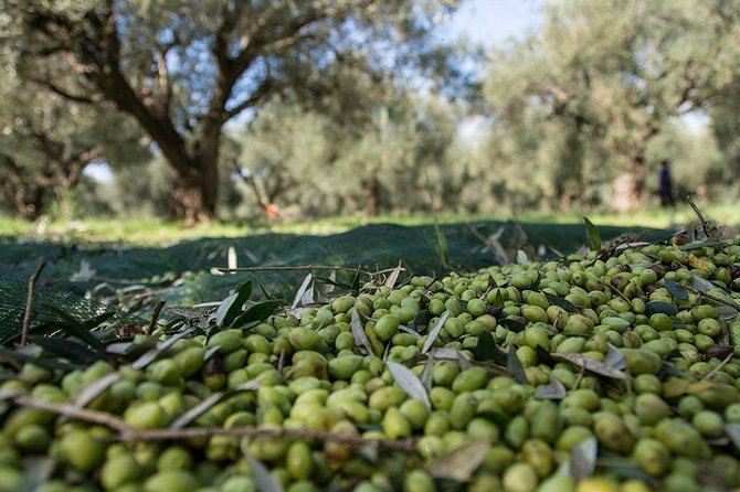 Olive oil tasting & light lunch in Messinia, Greece!