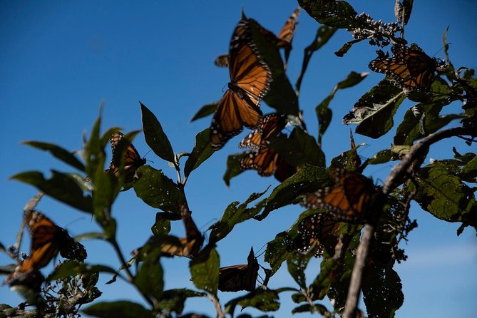 Monarch Butterfly Tour (Departing from Morelia) photo 9