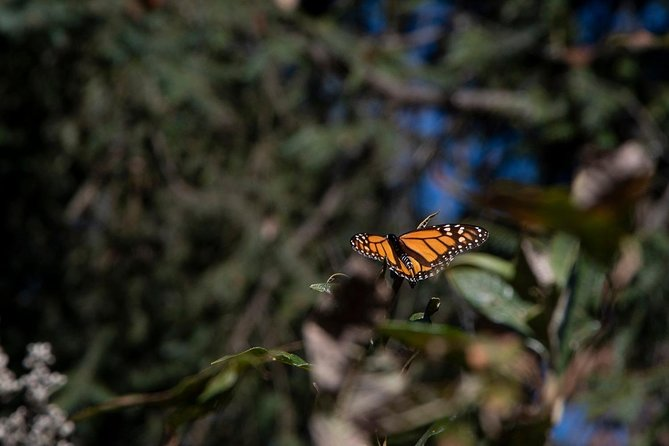 Monarch Butterfly Tour (Departing from Morelia) photo 22