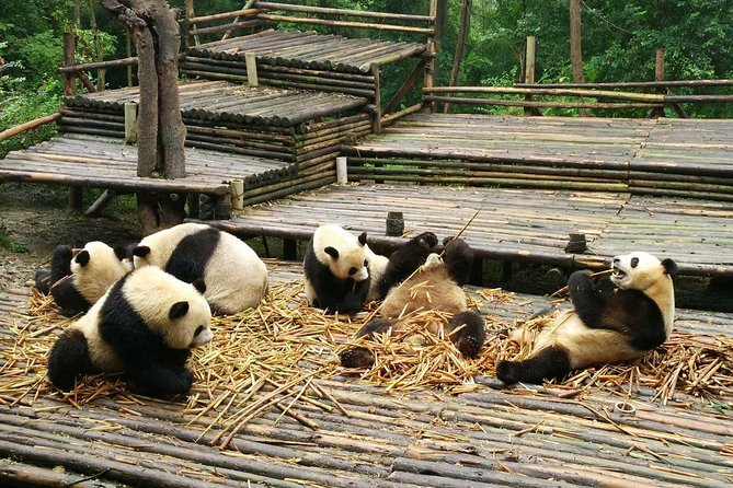 Chengdu Day Trip of Giant Panda and Local Culture Experience photo 6