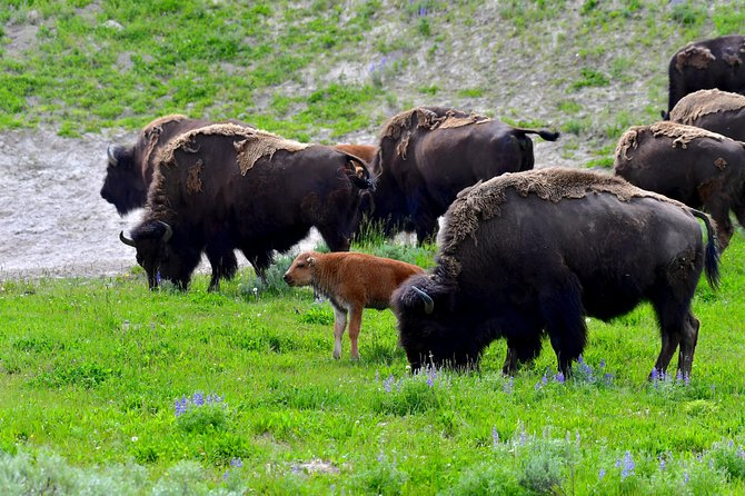 PRIVATE TOUR: The Best of Yellowstone National Park. Picnic lunch included! photo 43