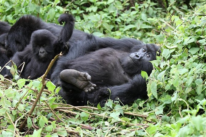 Gorilla Tracking in Bwindi NP (Uganda) photo 7