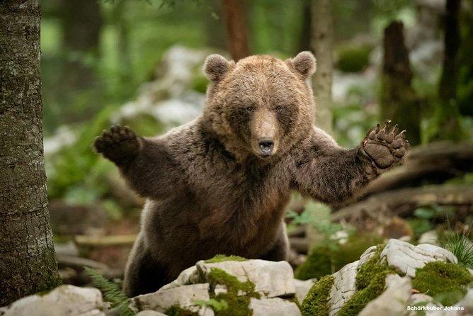 Brown bear observation