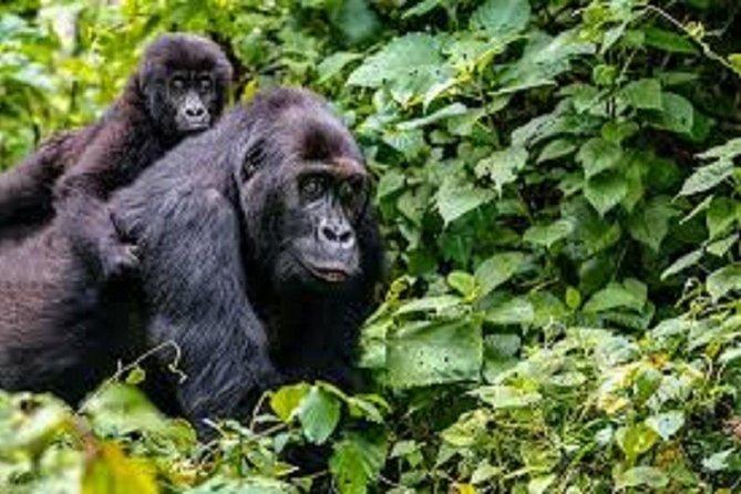 5 Days Wildlife And Gorilla Tracking Safari