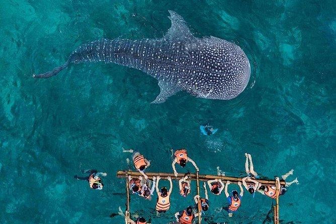 Budgeted Bohol Whale Shark