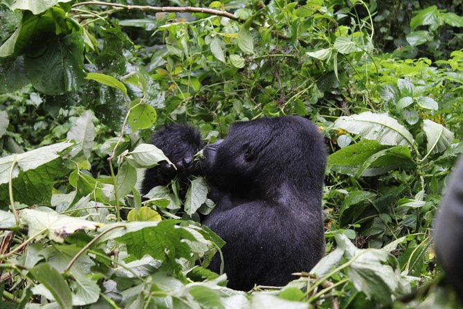 3 Days Bwindi Impenetrable Gorilla Safari Budget photo 4