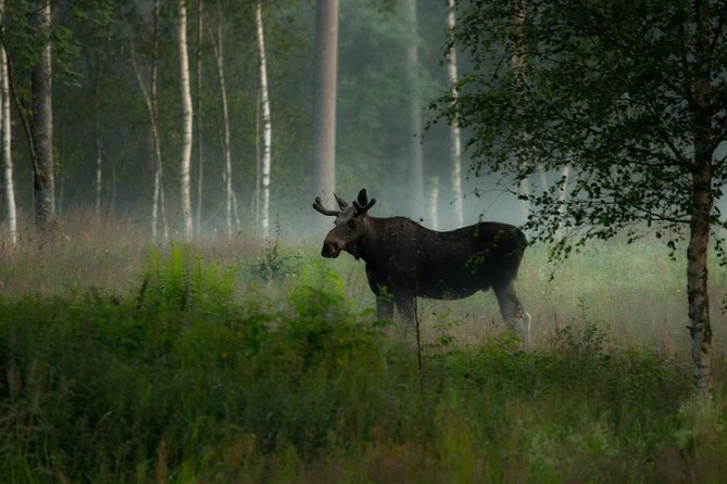 Moose in dawn. Photo: Jan Nordström.