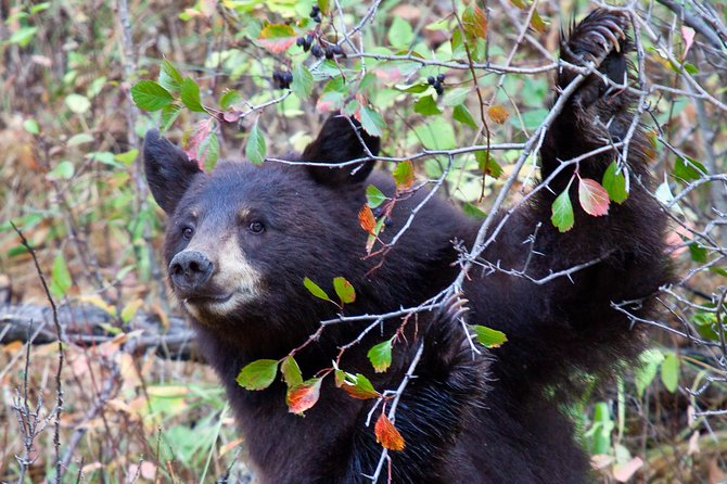 3 Day Bear and Wolf Safari Tour