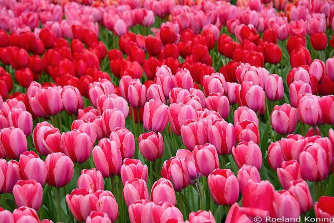 Lxry Private Transfer from The Hague to the Flowerfields in Lisse (incl.tickets) photo 12