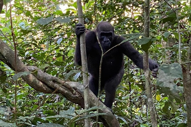 5 Days Gorilla Tracking in Gabon