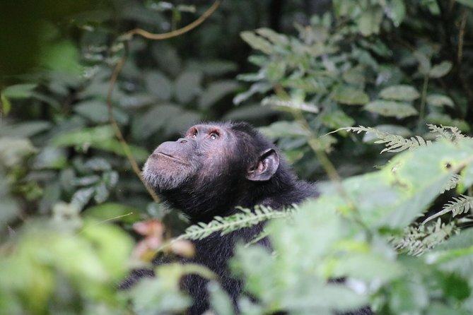 2 Day Chimpanzee Trekking Safari at Kibale National Park