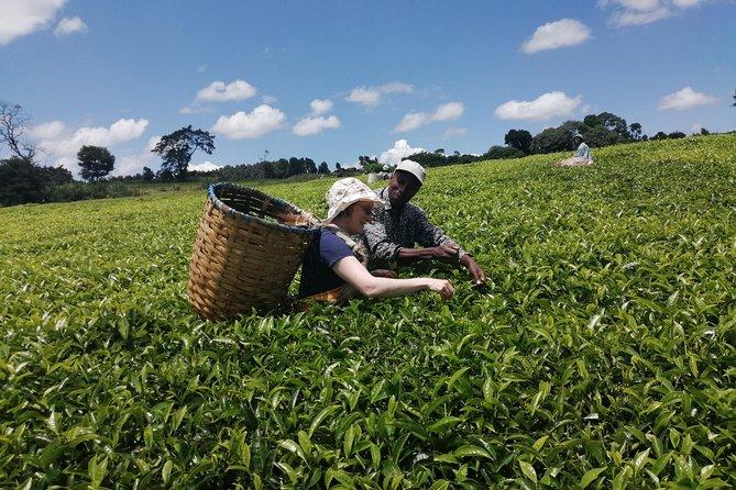 Tea Farm and Factory Tour from Nairobi