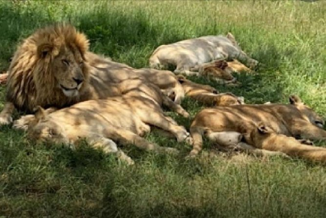 Captivating Safari Lion Park Experience (Half Day Guided Tour)
