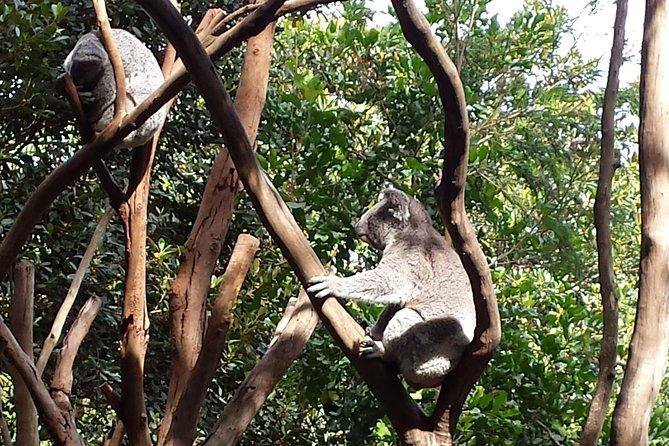 Koalas at Featherdale