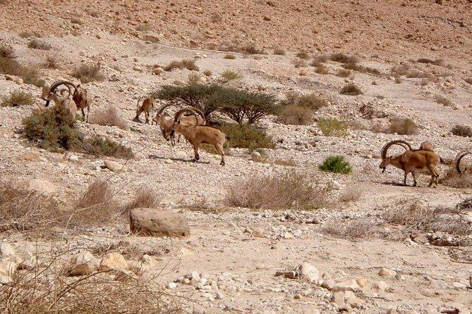 Judea desert Nubian Ibex.