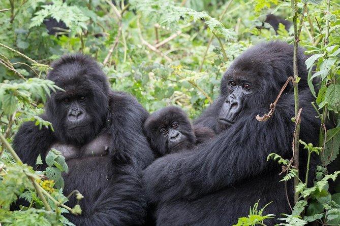 3 Days Gorilla Trekking Bwindi Impenetrable Forest National Park