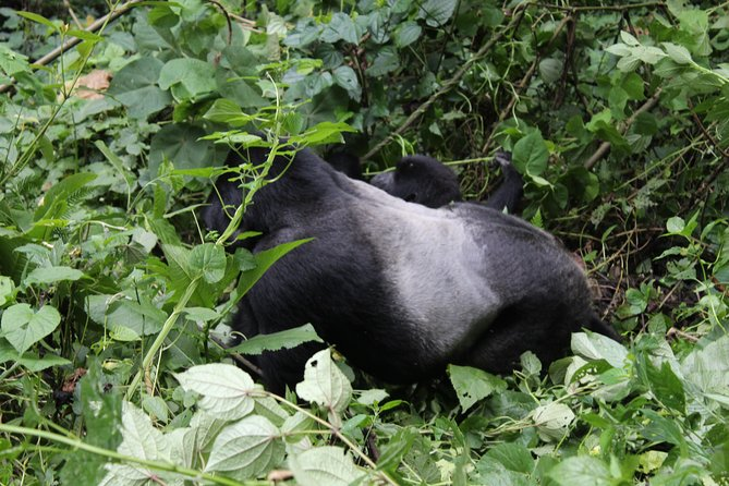 3 Days Bwindi Impenetrable Gorilla Safari Budget photo 1