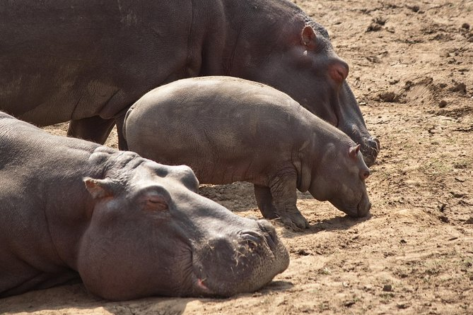 Hippo family with dad fast asleep