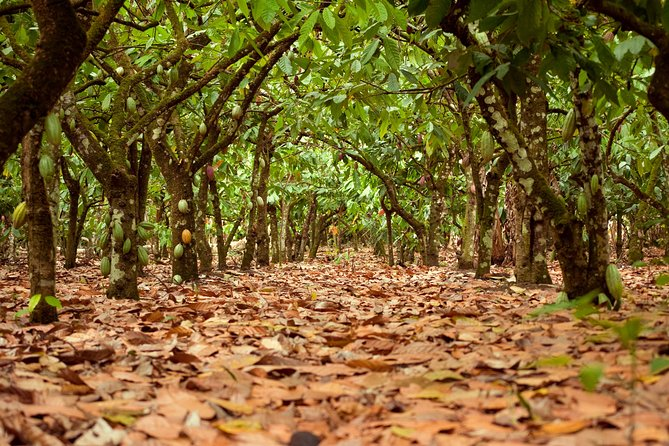 Cocoa trail and making of chocolate tour from Santo Domingo