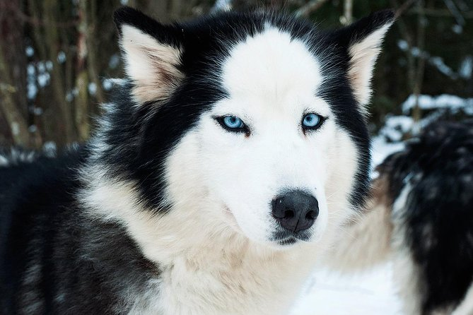 Private Tour: Familiarity with Husky and Dog Sledding
