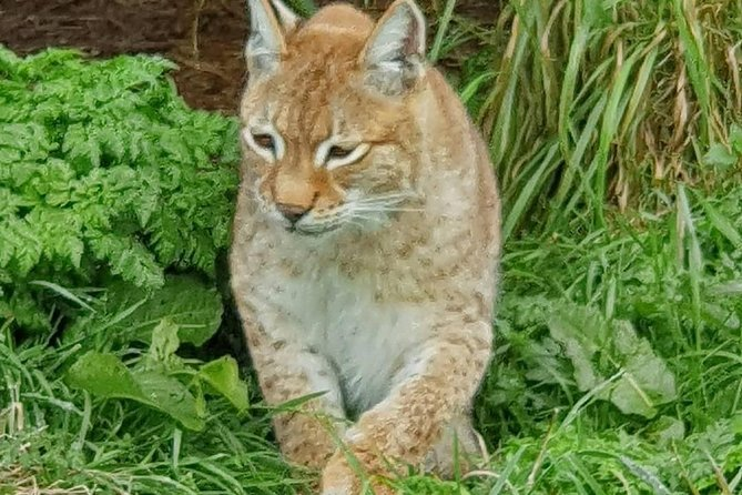 Lynx Encounter for 1 and Park Entry