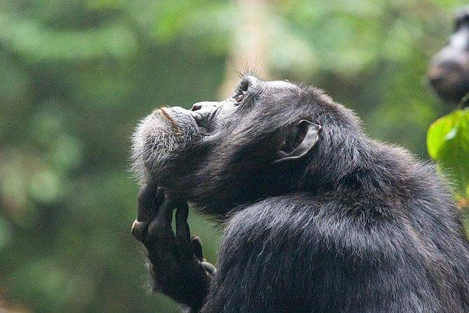 3 Days Chimpanzee tracking - Budget