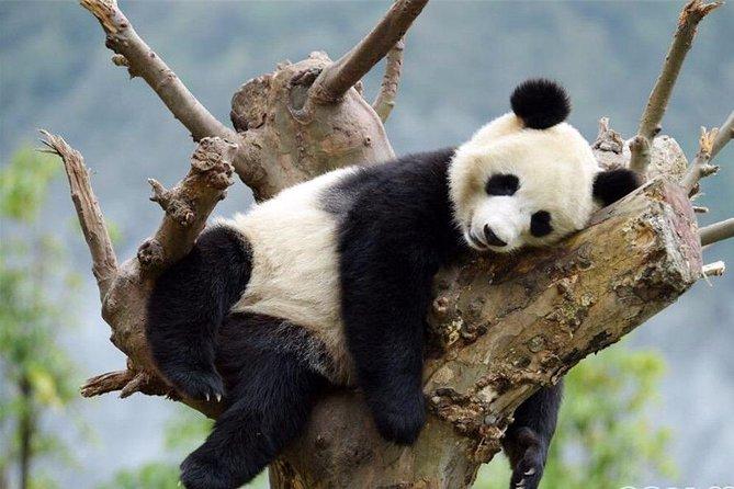 Chengdu Private Day Tour to Leshan Giant Buddha and Panda Breeding Base