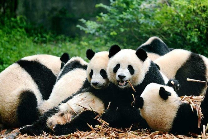 Chengdu Private Day Tour to Panda Breeding Base and Huanglongxi Old Town