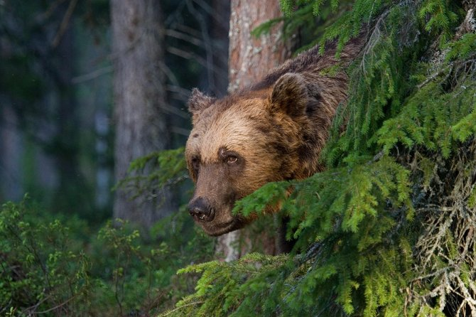 Bear Watching, evening trip photo 1