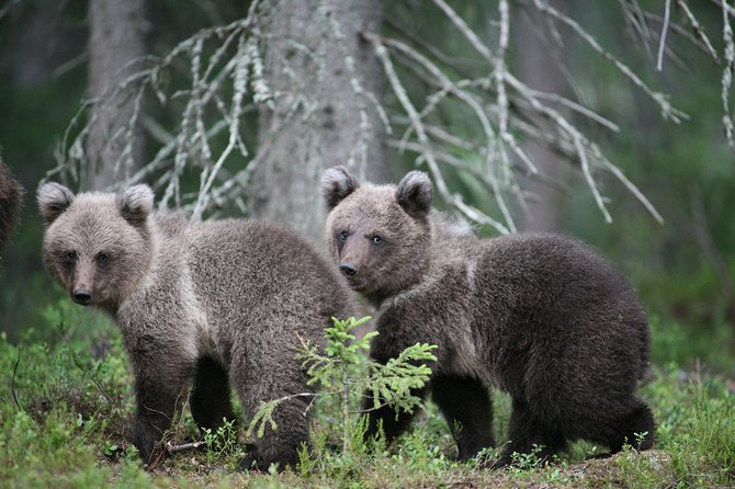 Bear and Cubs Photography photo 7