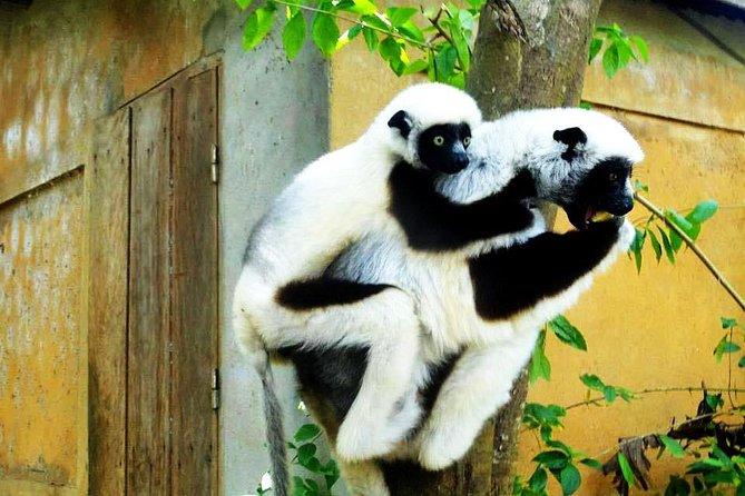 Meet the most beautiful lemurs