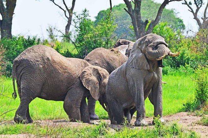 20 Days Masai Mara – Serengeti – Ngorongoro & Uganda Gorilla Safari