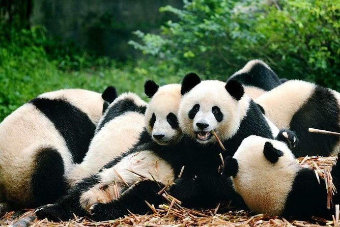 Private Day Tour to Chengdu from Shanghai by Air: Leshan Giant Buddha and Pandas