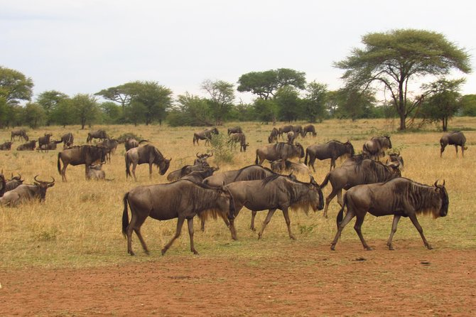 4 Days Masai Mara Wildebeest Migration Accommodation in Upgraded Tented Camp