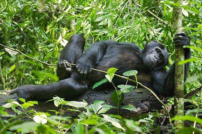 3 Days Chimpanzee Trekking Safari in Kibale Forest National Park Uganda
