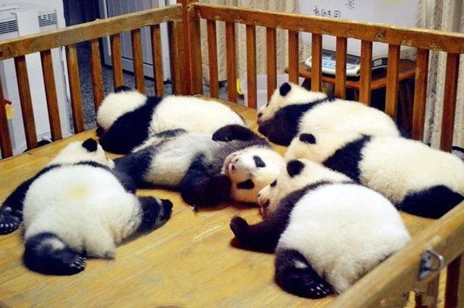 Chengdu Tour: Panda Breeding Center, Wenshu Monastery and Renmin Park