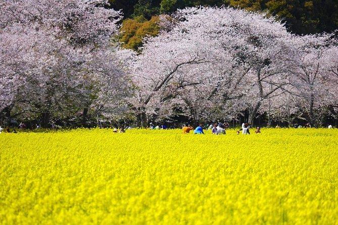 Cherry Blossoms at Fukuoka and Kumamoto :microbus 1-20pax