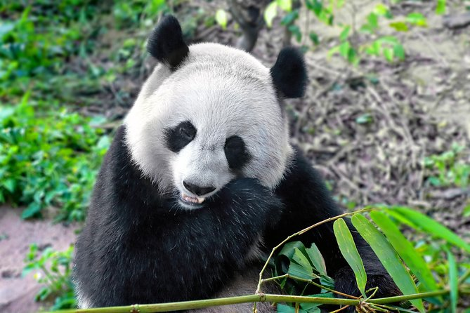 Private Half Day Panda Breeding Center Trip with Optional Hotpot Lunch