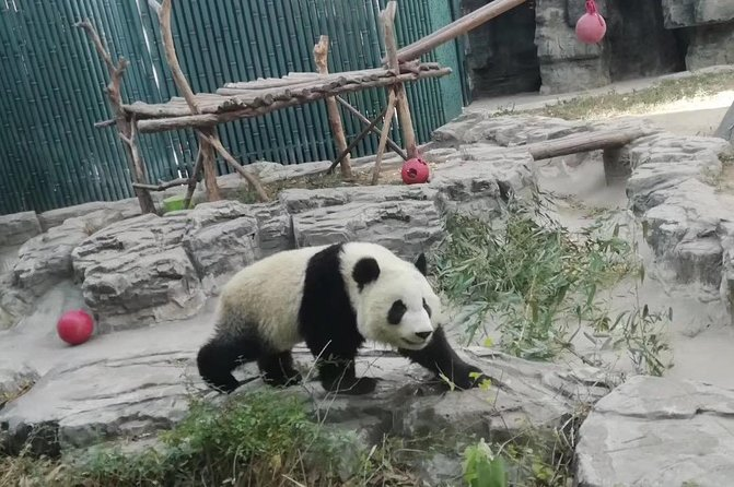 Private Chengdu Panda Base Day Tour by Round-way Flight from Shanghai