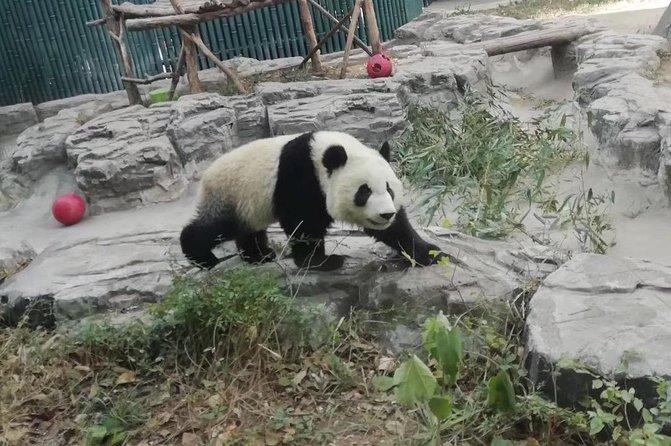 Private Chengdu Panda Base Day Tour by Round-way Flight from Shenzhen