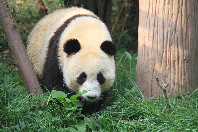 1-Day Chengdu Layover Tour: Panda Base, city central with Round Airport Transfer