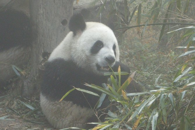 Chengdu Panda Base and Drop off Chengdu Railway Station Day Tour