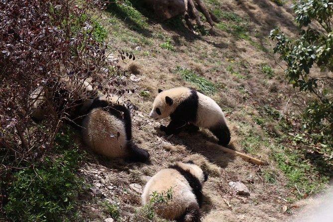 Half-Day Self-Guided Chengdu Panda Research Base Tour