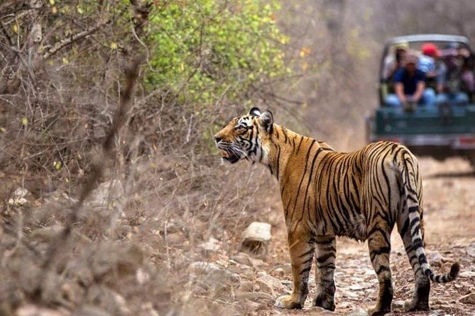 Skip the Line: Ranthambore Tiger Safari Ticket