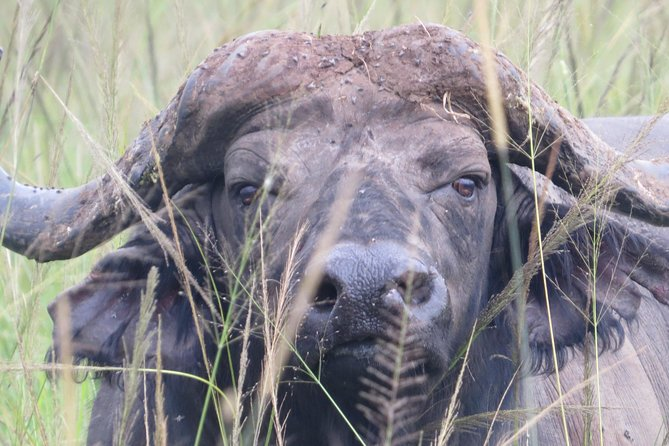 a buffalo spotted during our afternoon game drive.